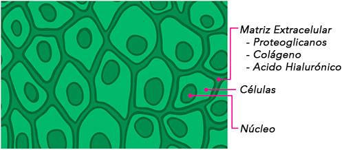 Proteoglianos-en-la-matriz-extracelular